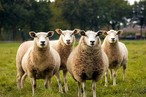 sheeps permaculture