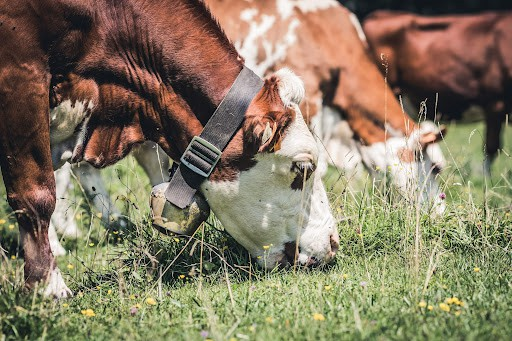 permaculture cows