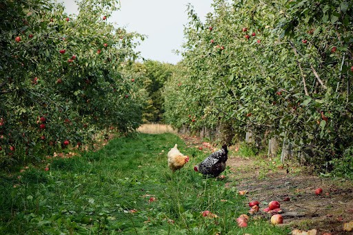 chickens in permaculture