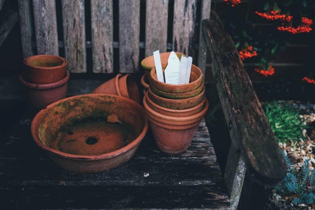 treubii moonlight pot