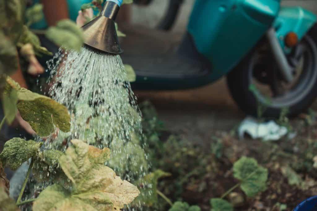 overwatering scindapsus plant